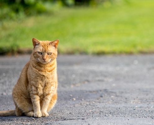 Road safety for cats